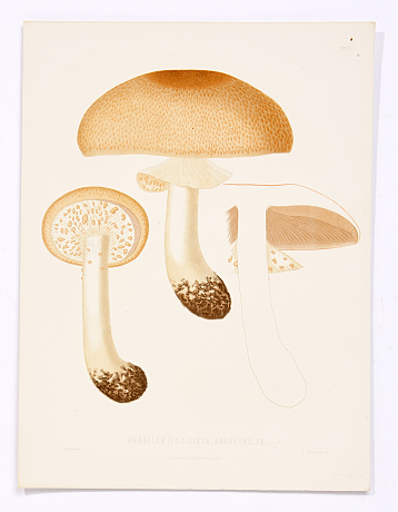 Fries lithograph plates of Swedish mushrooms